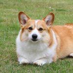Best_Dog_Brush_for_Corgi_Pet_Struggles